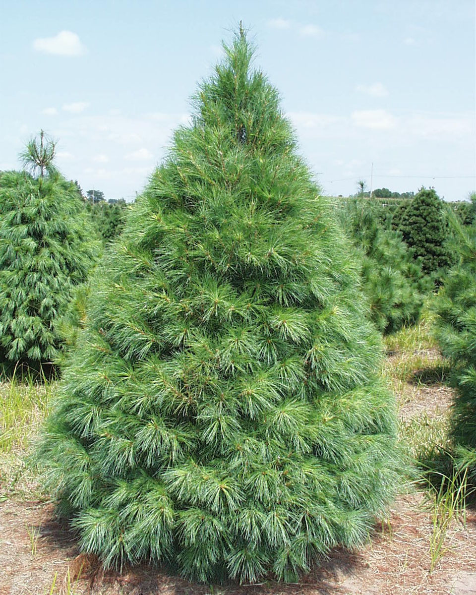 Blueview nurseries evergreens for Jardin 50 neuquen