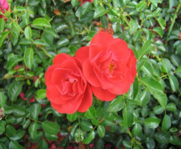 Scarlet, Flower Carpet Rose
