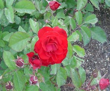 Essex Ground Cover Rose