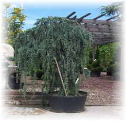 A Weeping Blue Atlas Cedar,awaits a new home.